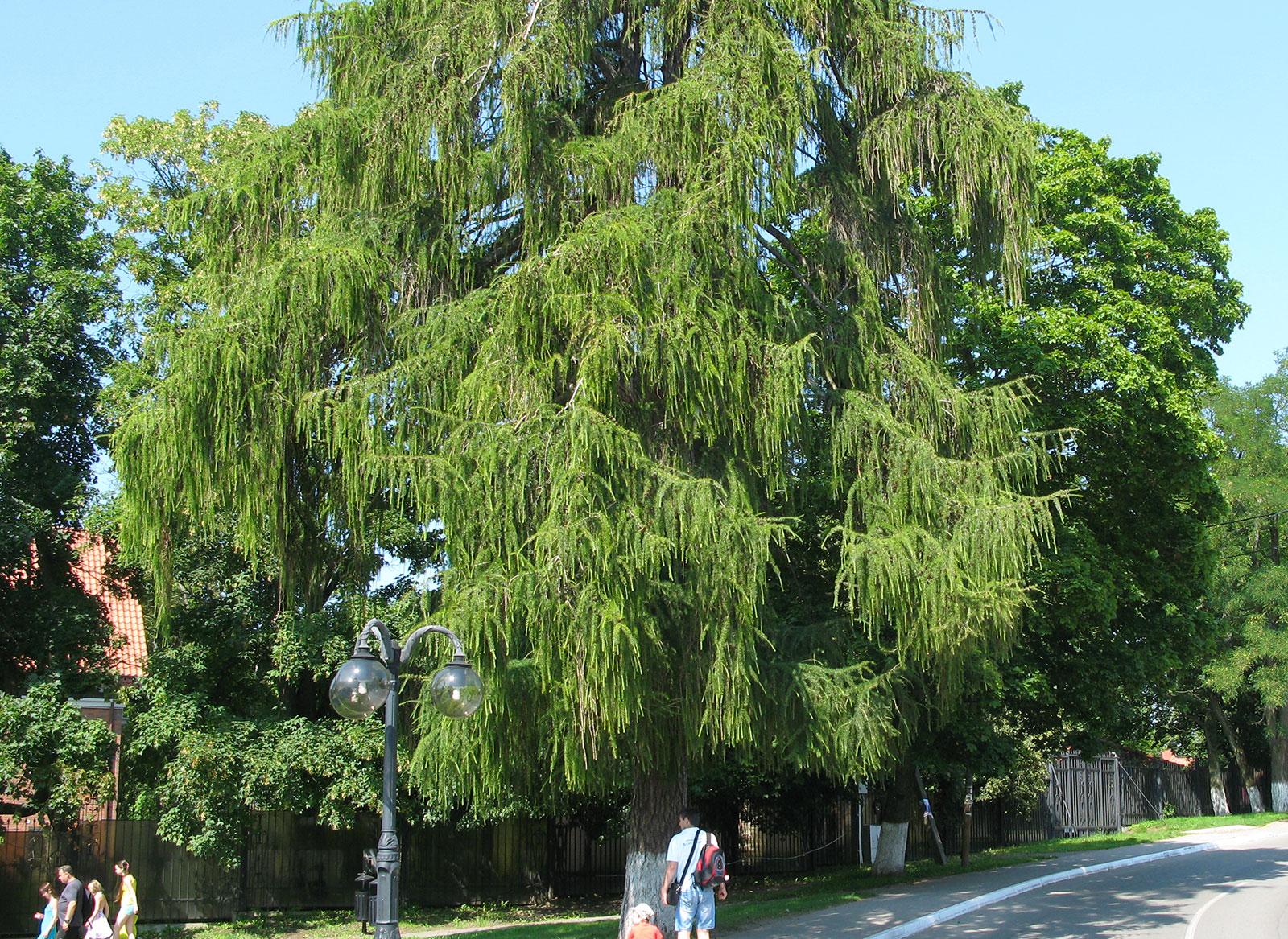 красивое хвойное дерево