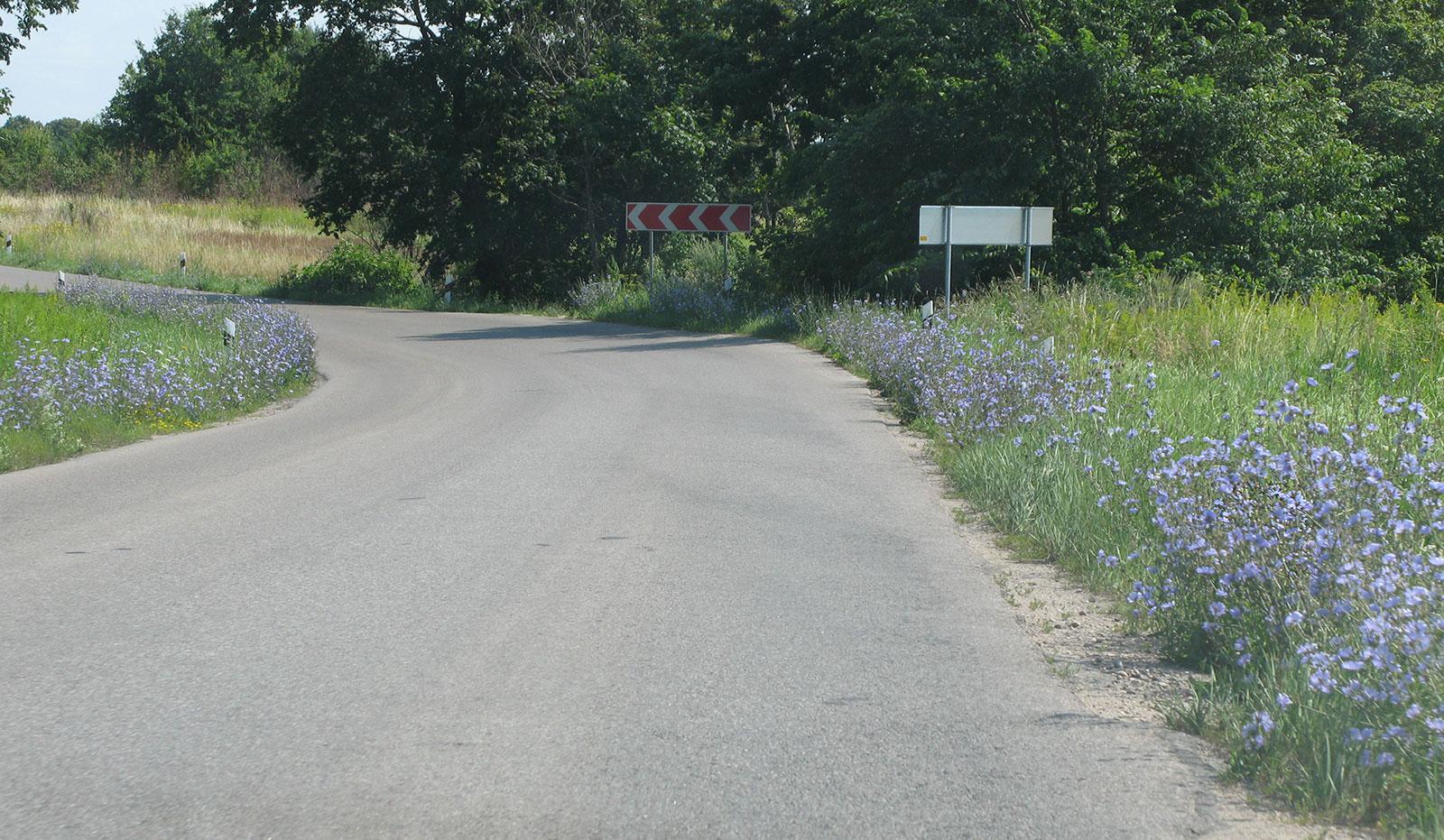 цикорий вдоль дороги