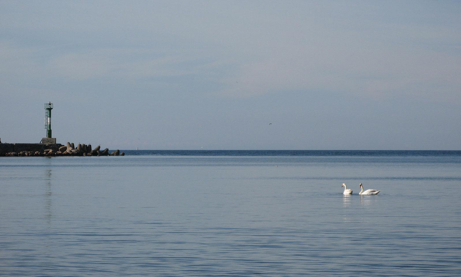 лебеди на Балтийском море