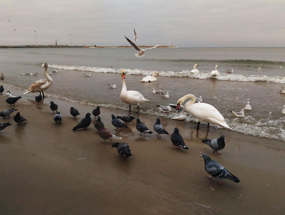 lebedi na baltiyskom more