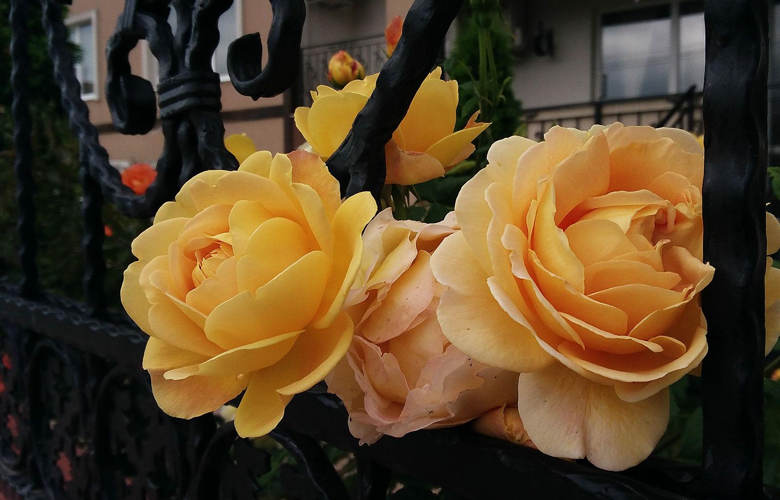 jeltie-rozy-skvoz-zabor