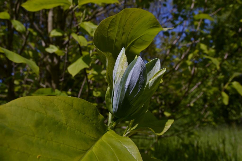 magnoliya-golubaya-kaliningrad