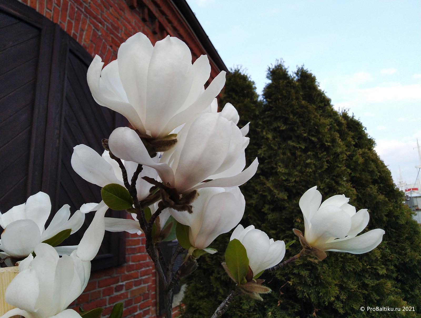 magnoliya-v-kaliningrade-2021-04-21