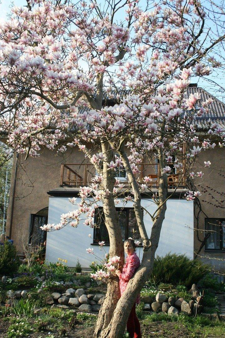 magnoliya-v-kaliningrade-donskogo-41