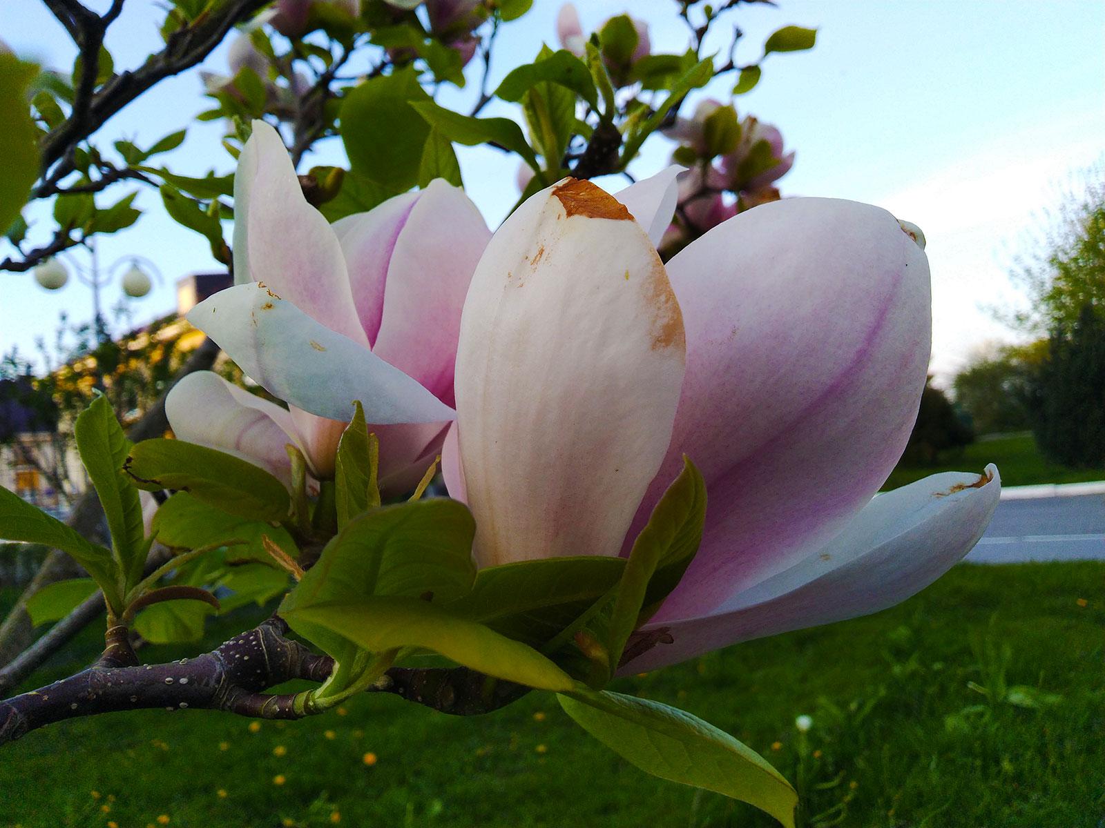 magnoliya-v-kaliningradskoy-oblasti