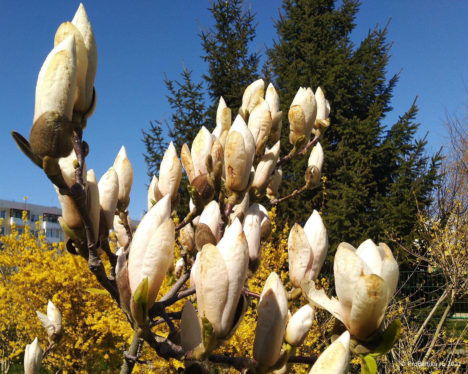 magnoliya-v-pionerskom-2020-04-21