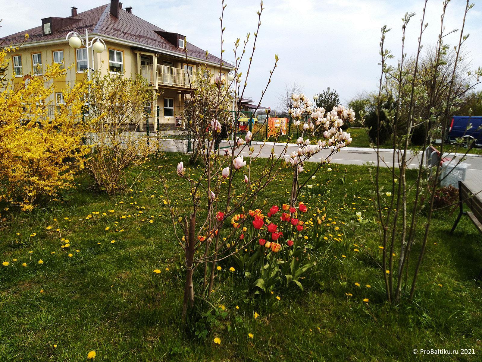 magnoliya-v-pionerskom-2020-04-28