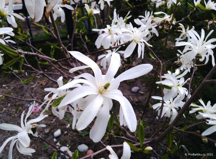 magnoliya-v-pionerskom-2021-05-10