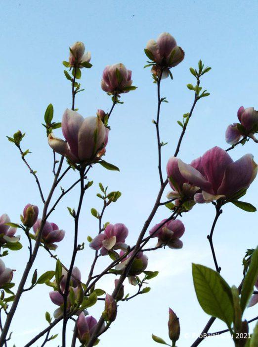 magnoliya-v-pionerskom-2021-05-12-1