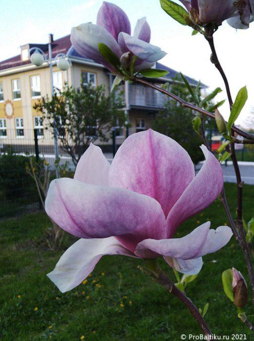 magnoliya-v-pionerskom-2021-05-12