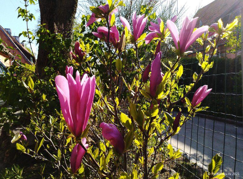 magnoliya-v-pionerskom-2021-05-13