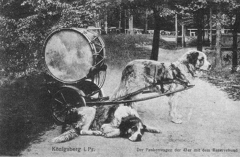 Paukenhund-barabannye-sobaki-konigsberg